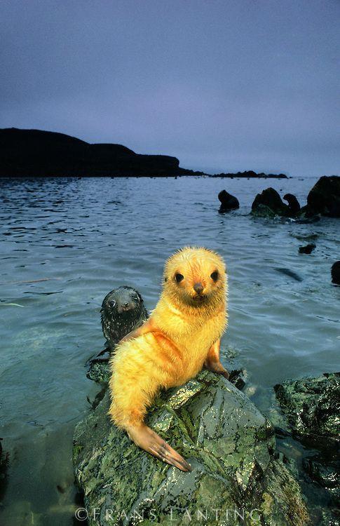 Baby Animals Antarctic Fur Seal Pup Blond Morph