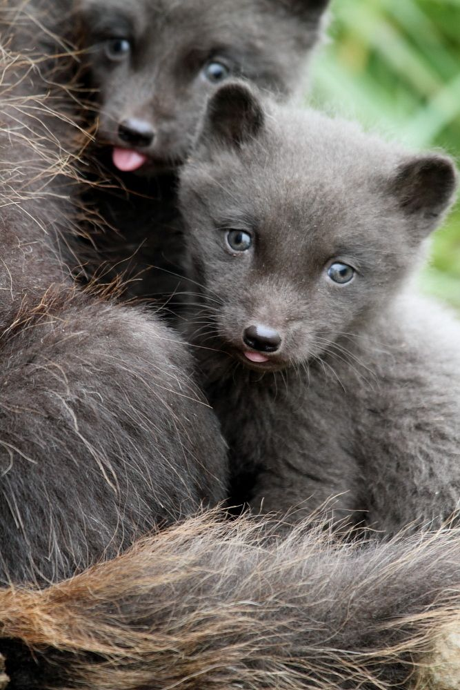 Baby Animals Arctic Blue Fox Babies Photography Magazine Leading Photography Magazine Bring You The Best Photography From Around The World