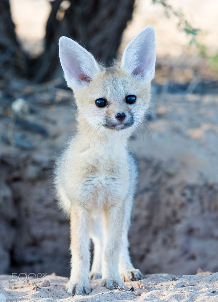 Baby Animals Cape Fox Baby Photography Magazine Leading Photography Magazine Bring You The Best Photography From Around The World