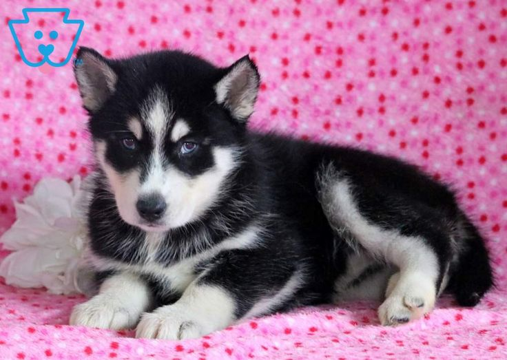 Baby Animals Blossom Siberian Husky Puppy For Sale Keystone